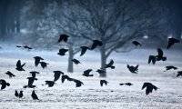crows for the snow